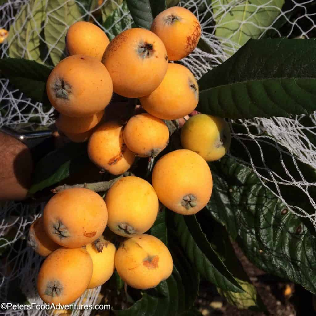 bunch of loquats growing on a branch
