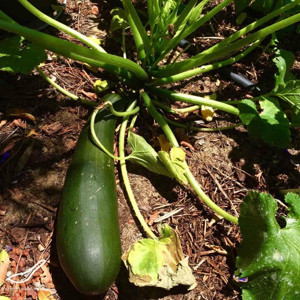 Jumbo Zucchini Growing in Garden