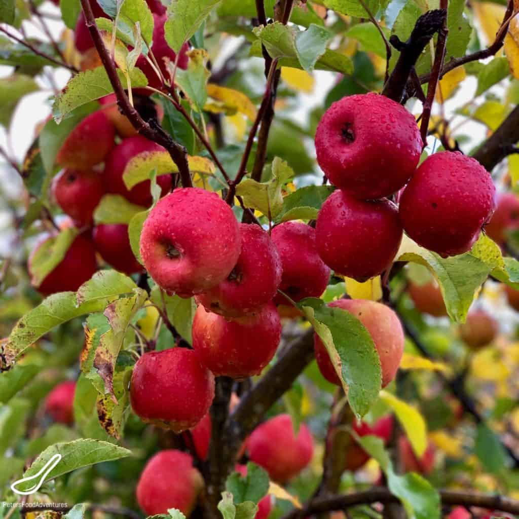 Pink Lady Apples growing in the orchard