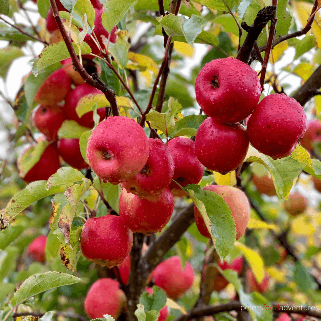 pink lady apples growing on a tree